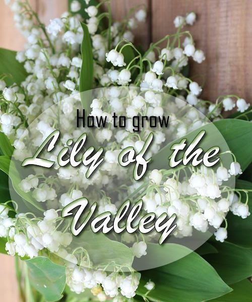 How to grow Lily of the Valley