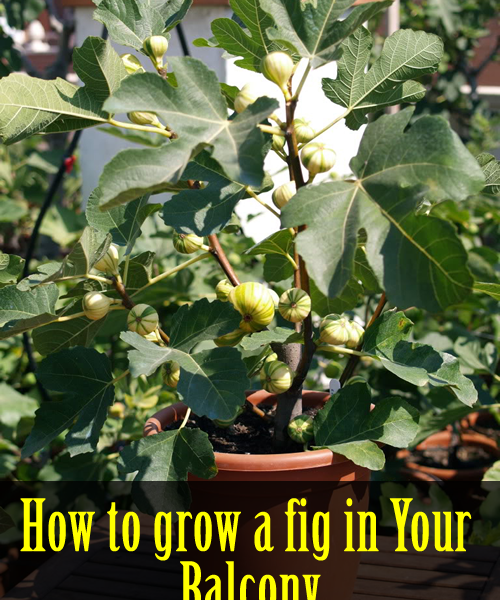 How to grow a fig in your balcony