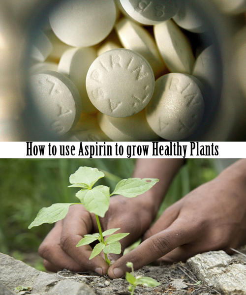 How to use aspirin to grow Healthy Plants